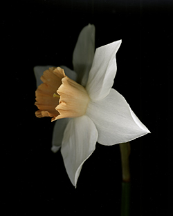 Narcissus Chromacolor 2005